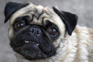 mopshond met tanden