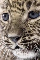 close-up op een persian leopard cub (6 weken)