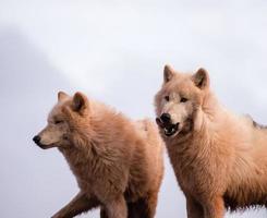artic wolven foto