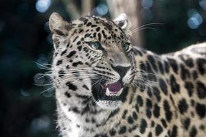 amur luipaard foto