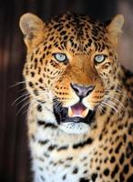 luipaard portret foto