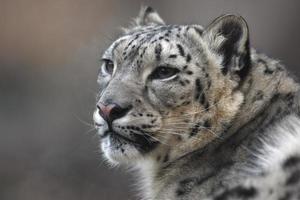 sneeuw luipaard, uncia unci, foto
