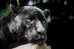 zwarte panter op rust foto