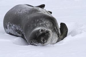 volwassen weddell zeehond die in de sneeuw Antarctische winter ligt foto