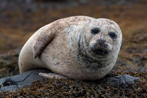 grijze zeehond foto