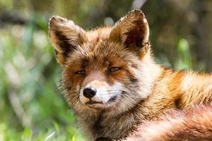 vos hoofd foto