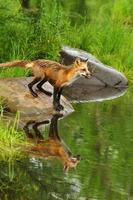 water reflecties van kleine rode vos staande op een rots. foto