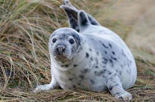 jonge zeehond voor strandgras foto