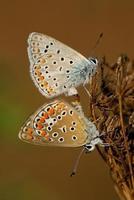 polyommatus icarus, paring foto