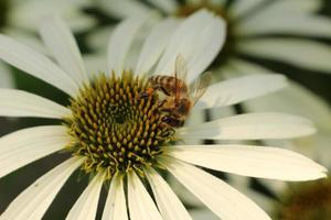 "witte echinacea - ""witte zonnehoed"" - echinacea purpurea witte zwaan foto"