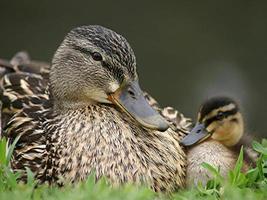 moeder en baby eendje foto