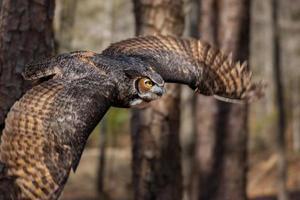 grote gehoornde uil foto