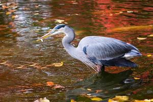 blauwe reiger genietend van een vismaaltijd foto
