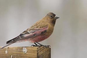 bruin-bedekte roze vink foto