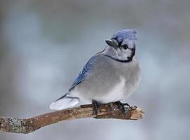neerstrijken winter blauwe gaai foto