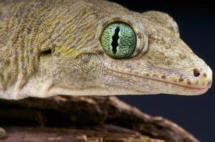 halmahera gigantische gekko / gehyra marginata foto
