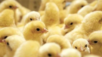 chick menigte foto