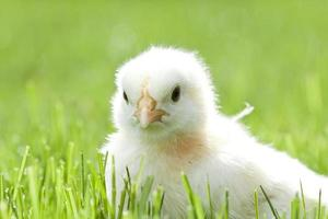 kip in het groene gras foto