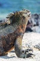 zeeleguaan verticaal in galapagos foto