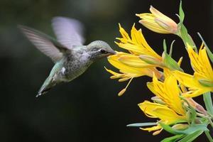 Anna's kolibrie met alstroemeria foto