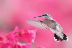 kolibrie foto