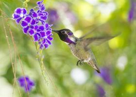 costa's kolibrie tijdens de vlucht foto