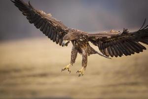 landende adelaar