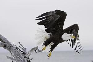 bald eagle neemt vlucht