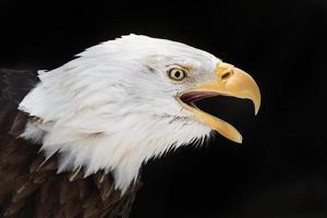 krijsende adelaar foto