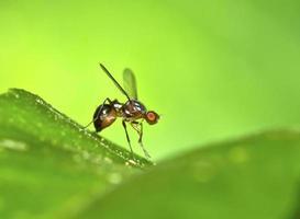 fruitvlieg op blad foto
