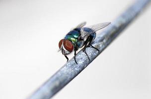 la mosca verde (phaenicia sericata) foto