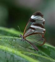 Glasswing vlinder foto