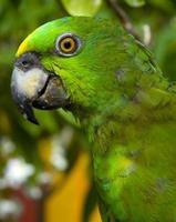 papegaai oog