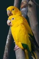 gele papegaai foto