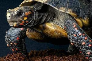 roodvoetige schildpad / chelonoides carbonaria foto