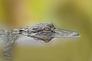 aligator foto