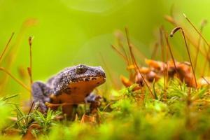 mannelijke alpine salamander die door een gebied van mos loopt foto