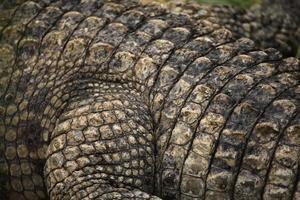 nijlkrokodil (crocodylus niloticus) leertextuur. foto