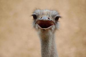 struisvogel confrontatie foto