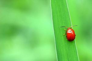 lieveheersbeestje op een groene bladmacro foto