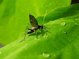 bell cricket dat zingen met trillende vleugels foto
