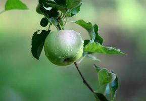 appels in boomgaard foto