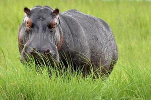 nijlpaard (nijlpaard amphibius) tegenover camera in lang gras, botswana. foto