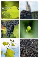 collage-druif-vine wijngaard foto