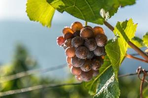 tros druiven met druppels. foto