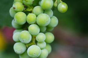 druiven uit een wijngaard foto