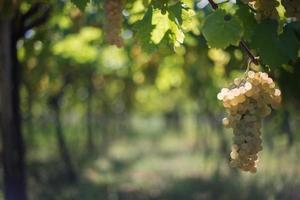 de oude wijngaard foto
