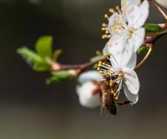 bijen verzamelen stuifmeel.