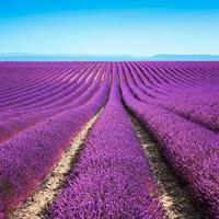 lavendel bloem bloeiende velden eindeloze rijen. valensole provence foto