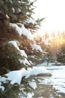 winter pijnboom